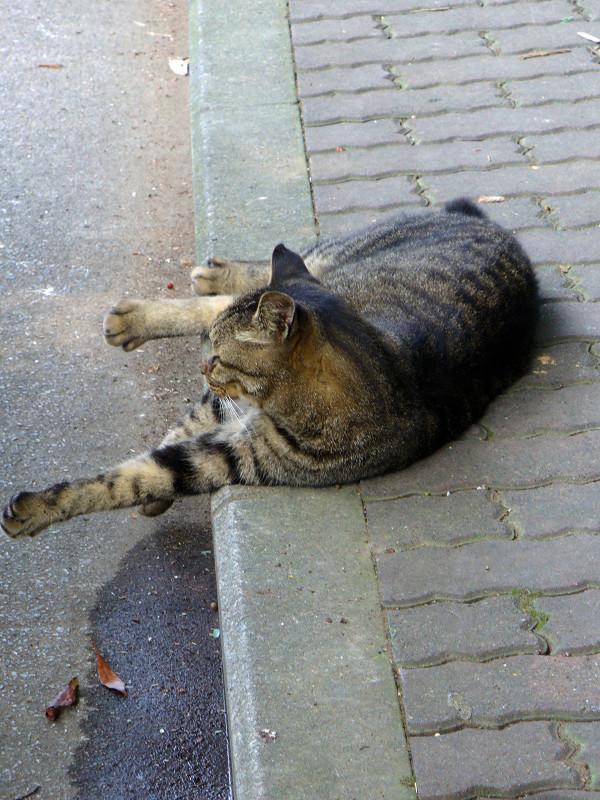 歩道で横になってるキジトラ猫1