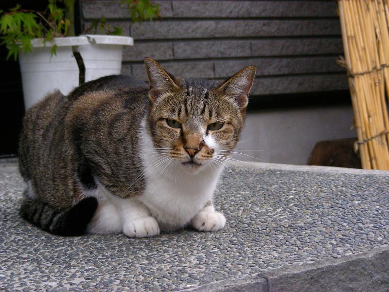 豪邸玄関の猫2