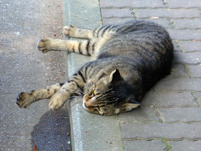 歩道で横になってるキジトラ猫2