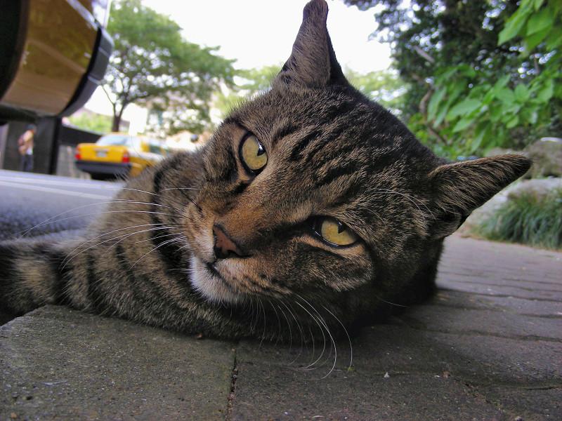 歩道で横になってるキジトラ猫3