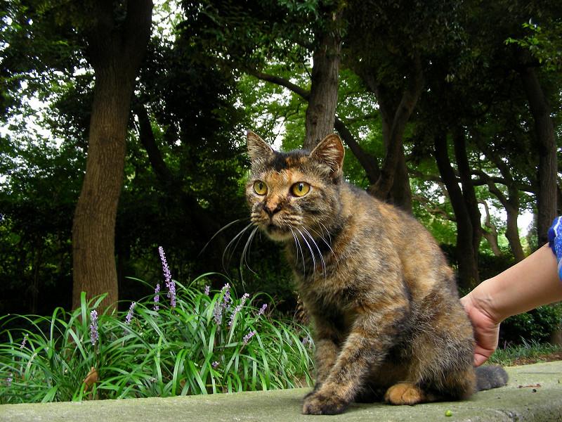 起き上がったサビ柄猫3