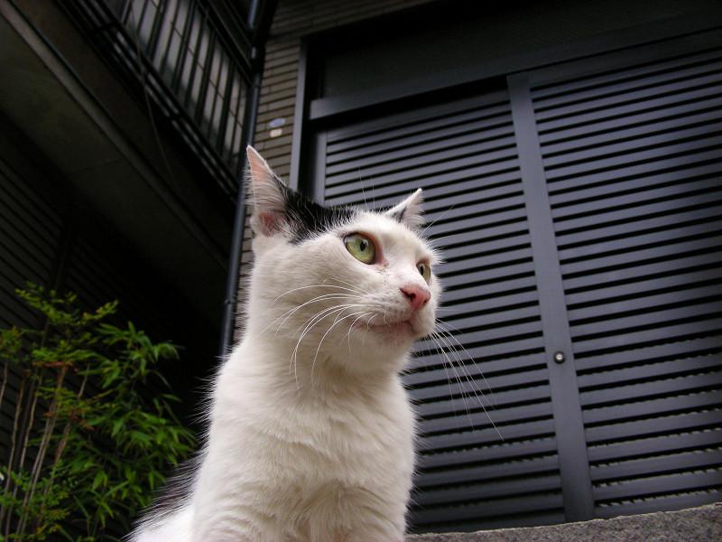 豪邸玄関の猫3