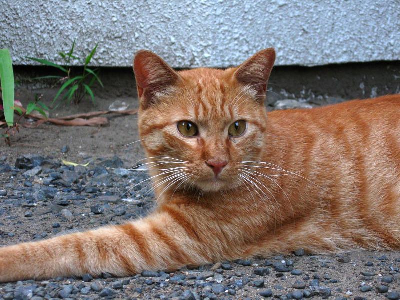 玉砂利に腹ばう茶トラ猫3