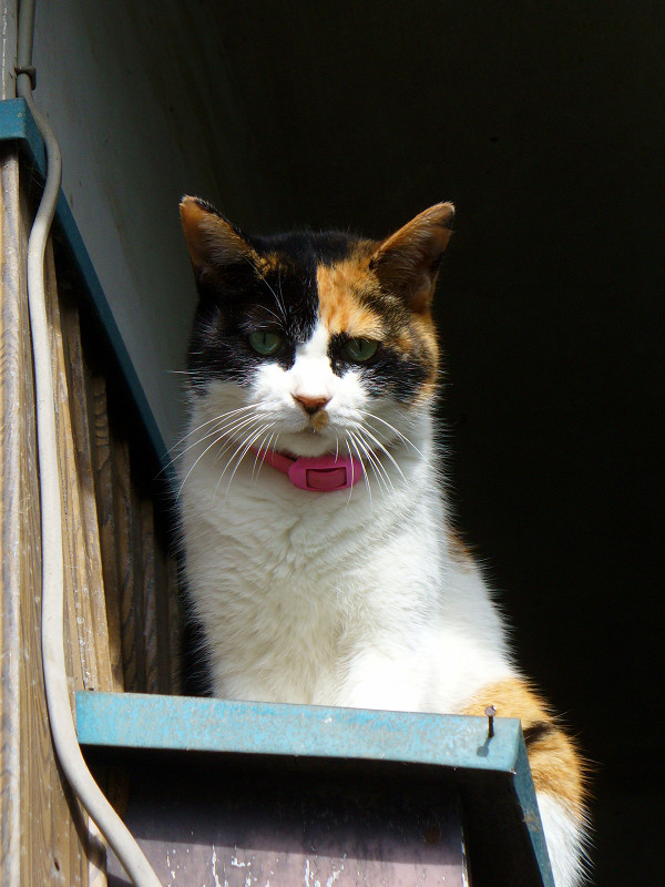 民家壁横の三毛猫3