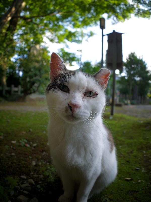 ジーッと見ている白キジ猫1