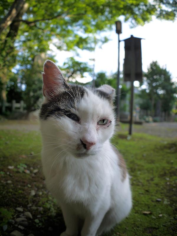 ジーッと見ている白キジ猫2