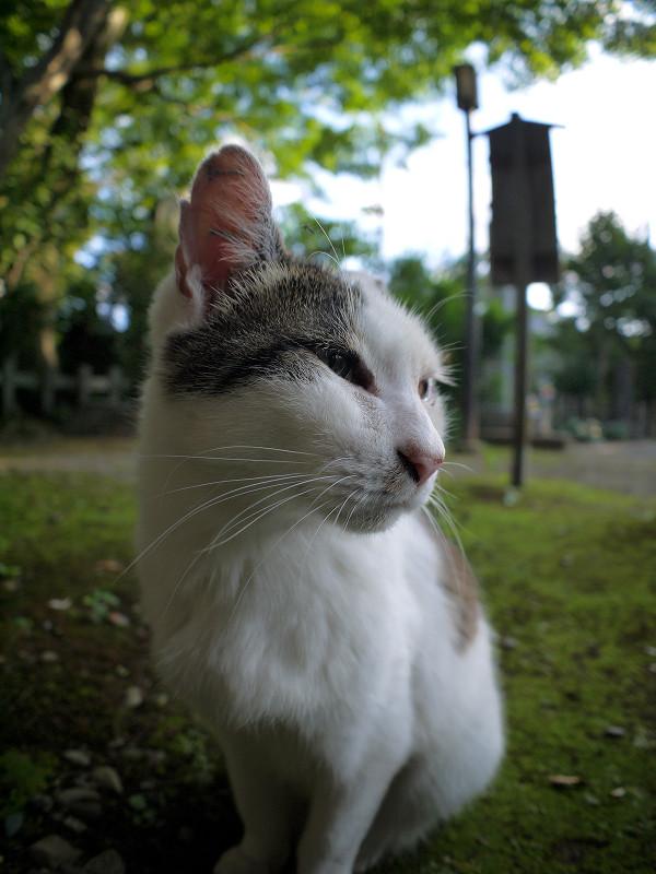 ジーッと見ている白キジ猫3