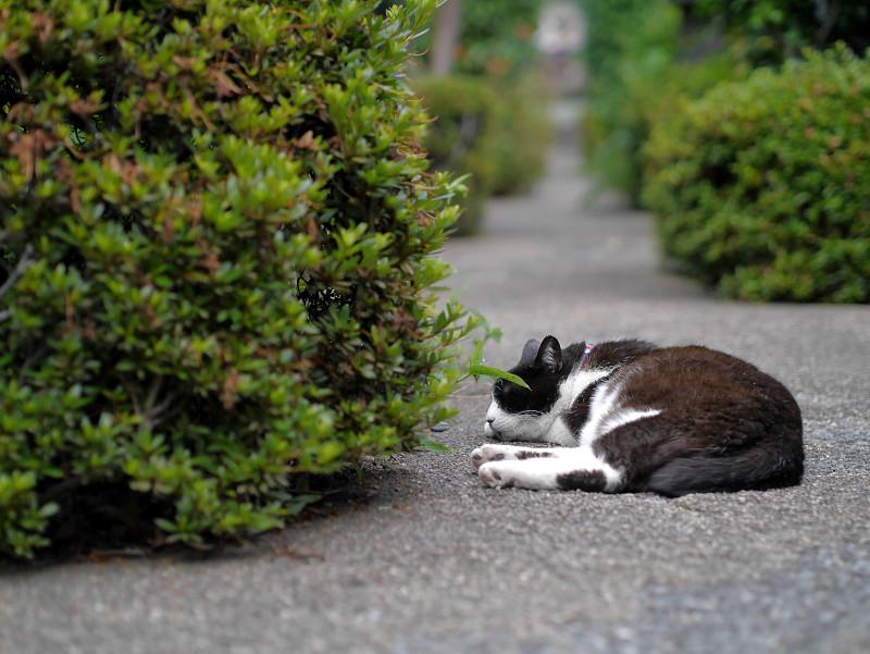 墓苑細道と黒白猫1