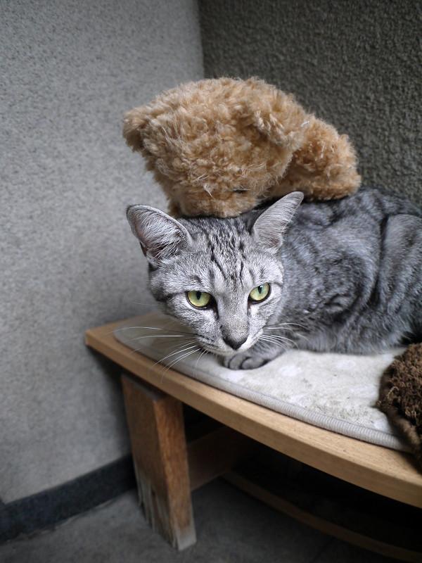 ぬいぐるみと寝起きのサバトラ猫1