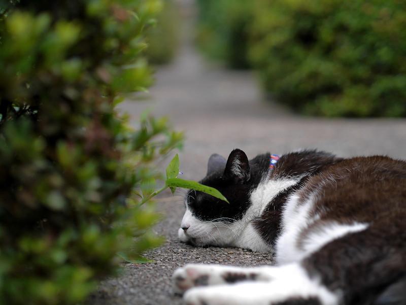 墓苑細道と黒白猫2