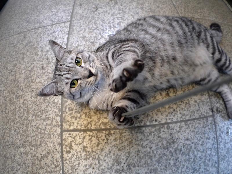 お堂内で仰向けになってるサバトラ猫2
