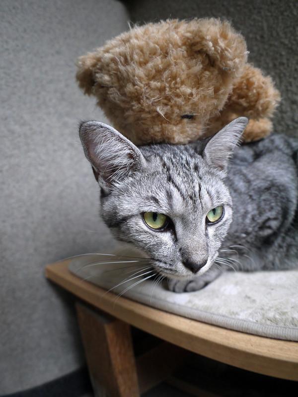 ぬいぐるみと寝起きのサバトラ猫2