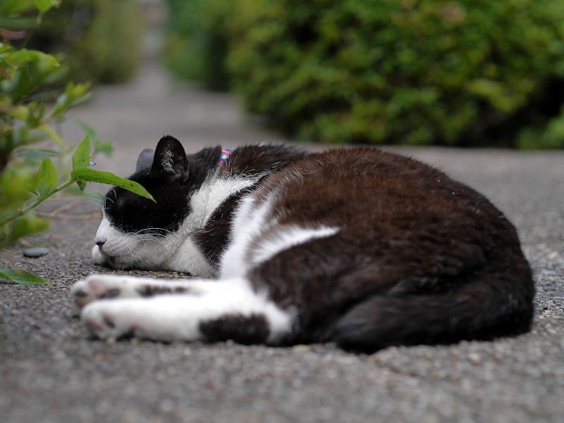 墓苑細道と黒白猫3