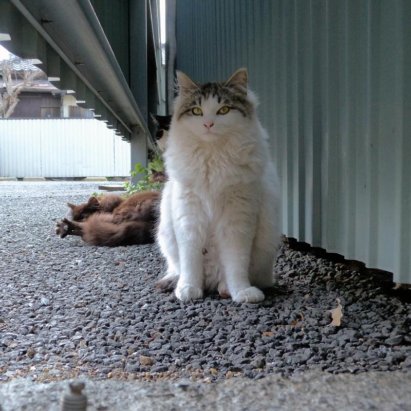 ストラップで遊ぶサバトラ猫3
