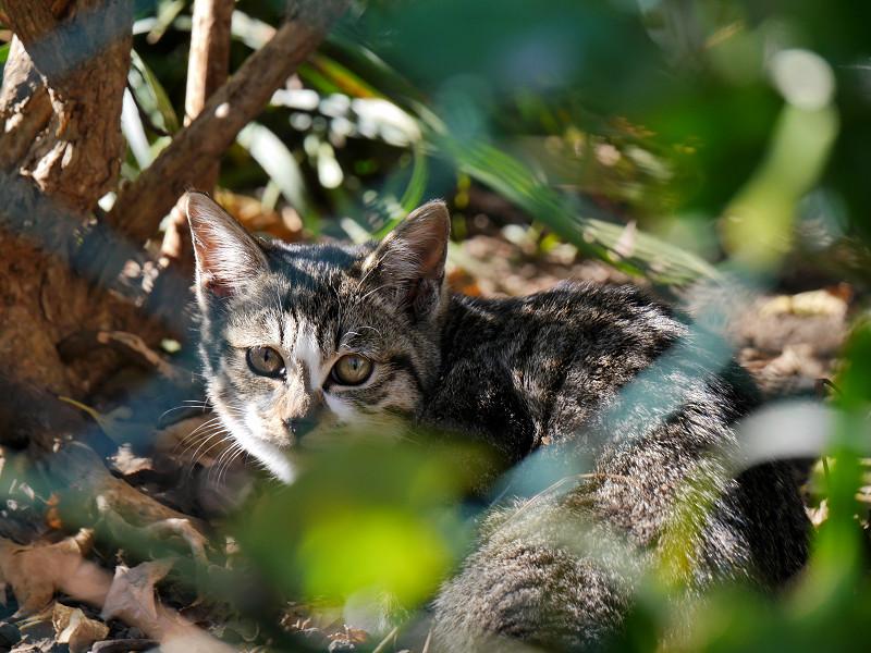 草むらとキジ白猫3