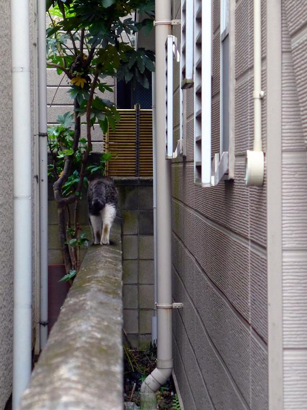 ブロック塀を歩くキジ白猫1
