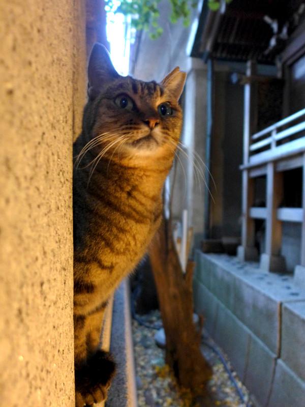 夕暮れの玉垣とキジトラ猫1