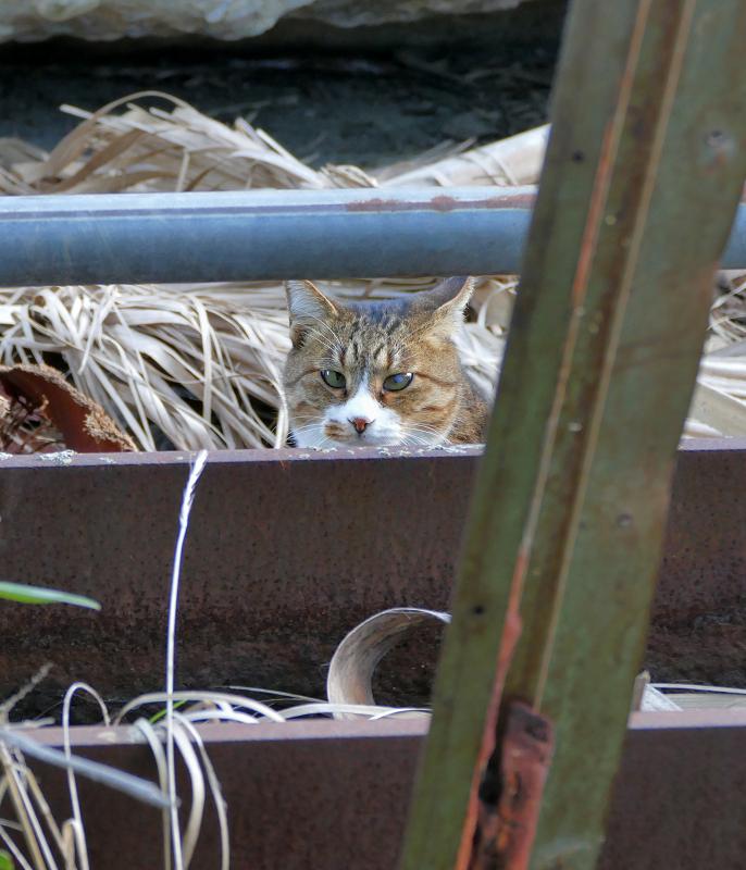 鉄骨の向こう側のキジ白猫1