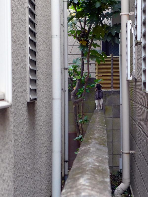 ブロック塀を歩くキジ白猫2