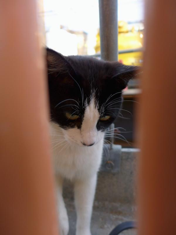 隙間に寄って来た黒白猫2