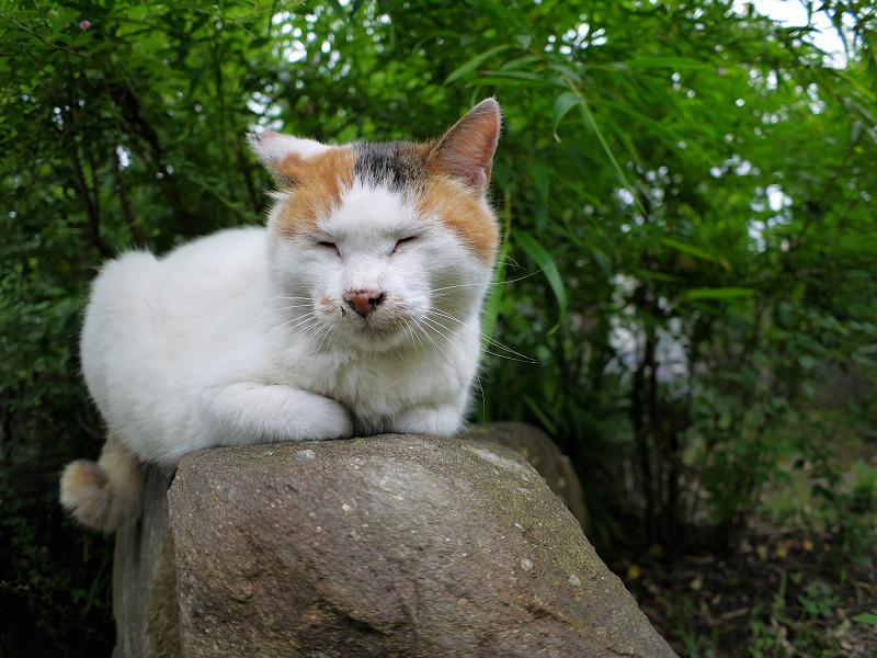 小岩に乗ってる白三毛猫2