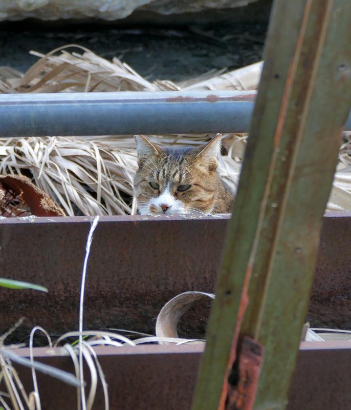 鉄骨の向こう側のキジ白猫2