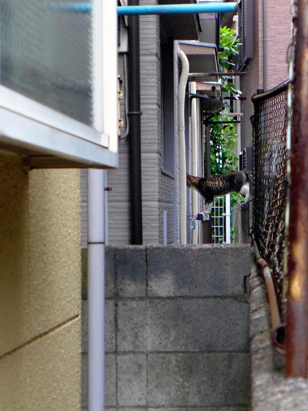 ブロック塀を歩くキジ白猫3