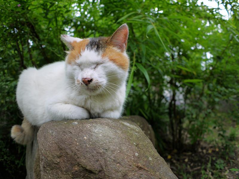 小岩に乗ってる白三毛猫3