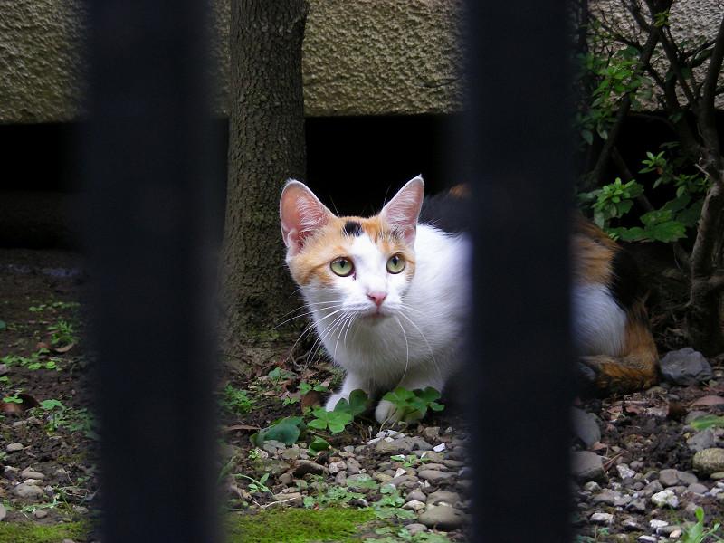 門扉の向こうの白三毛猫1