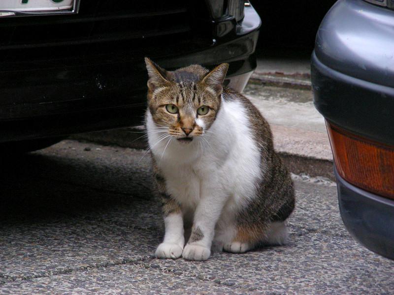車の間のキジ白猫1