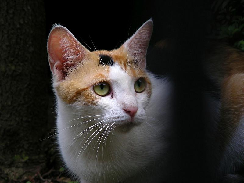 門扉の向こうの白三毛猫2