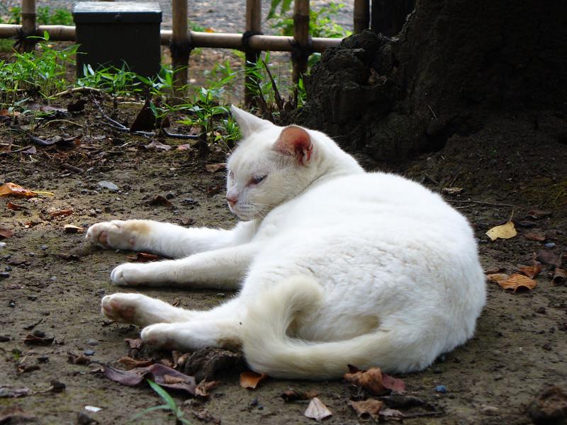 木の根元の白猫2
