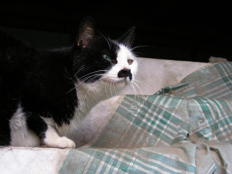 棚と黒白猫3