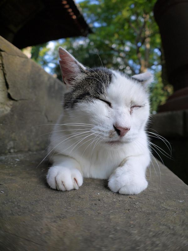 腹ばってる白キジ猫1