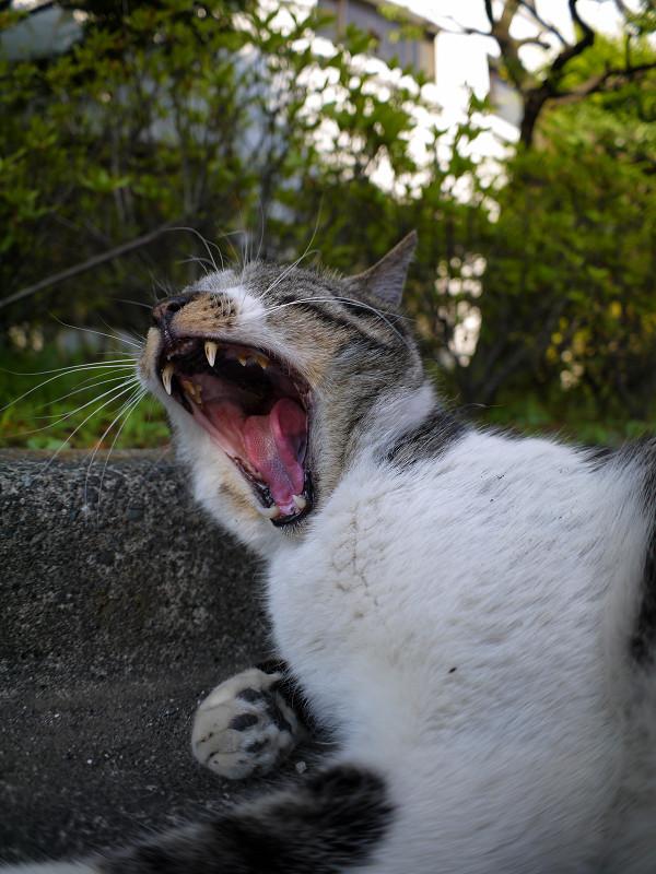 欠伸を始めるキジ白猫2