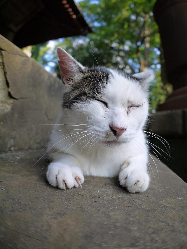 腹ばってる白キジ猫2