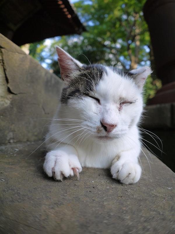 腹ばってる白キジ猫3