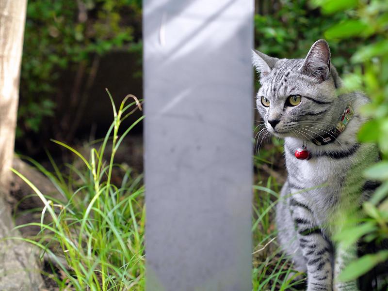 草むらとサバトラ猫1