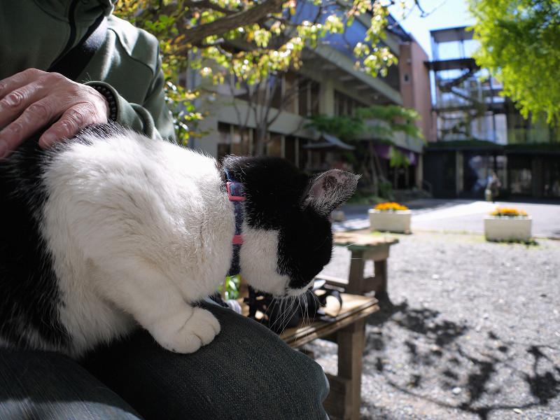 膝に乗ってくれた白黒猫1