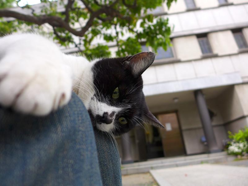 膝の上で遊ぶ白黒猫1