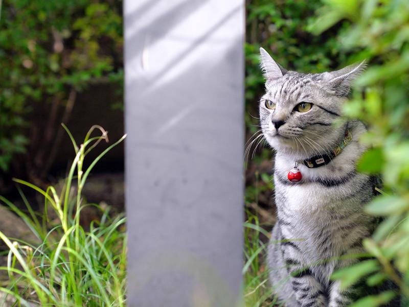 草むらとサバトラ猫2