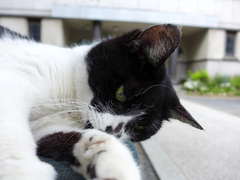 膝の上で遊ぶ白黒猫2