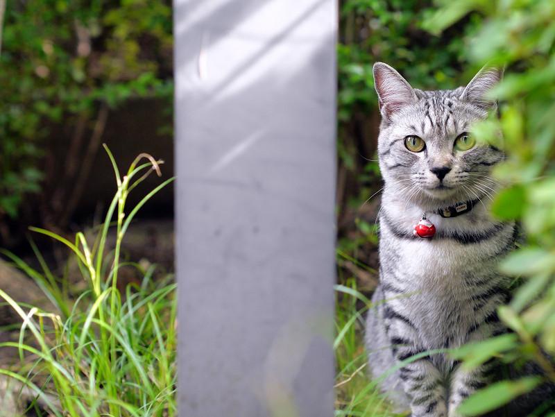 草むらとサバトラ猫3