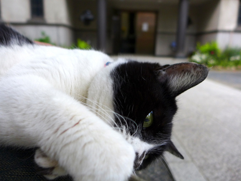 膝の上で遊ぶ白黒猫3