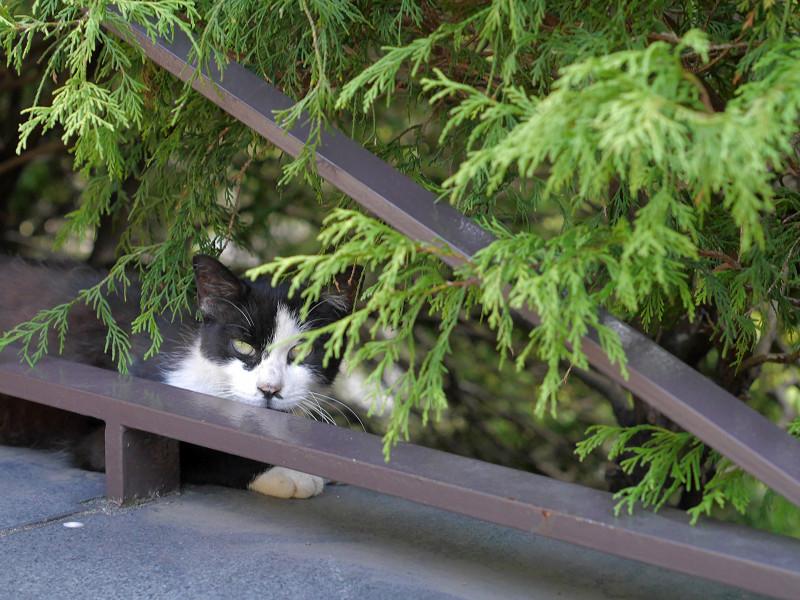 葉陰に逃げた黒白猫1