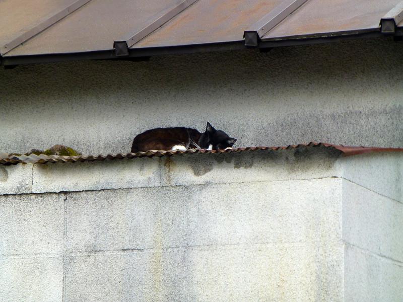小屋の屋根の黒白猫2