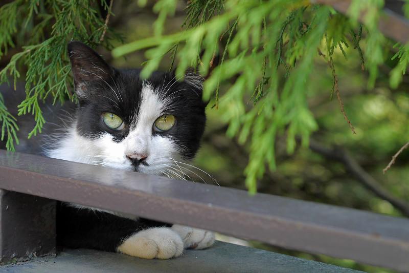 葉陰に逃げた黒白猫2