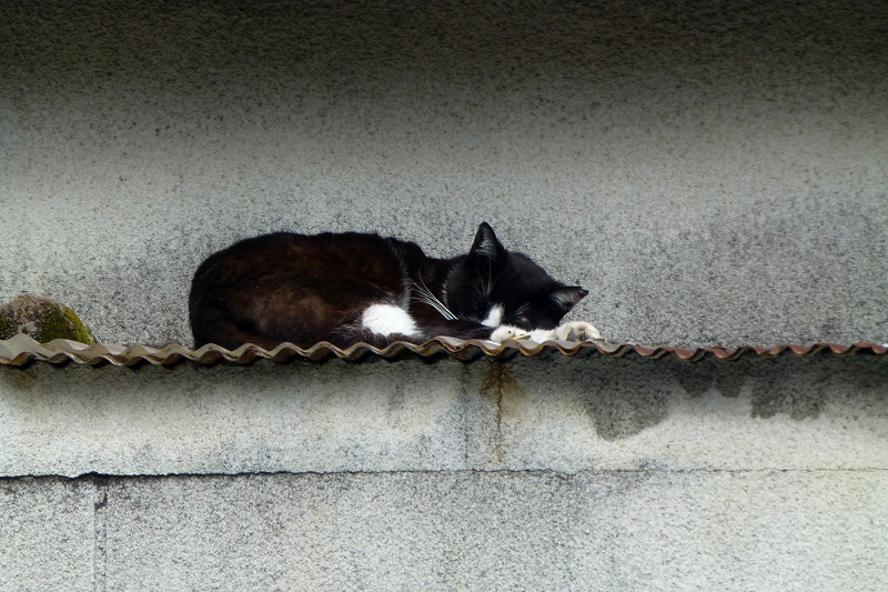 小屋の屋根の黒白猫3
