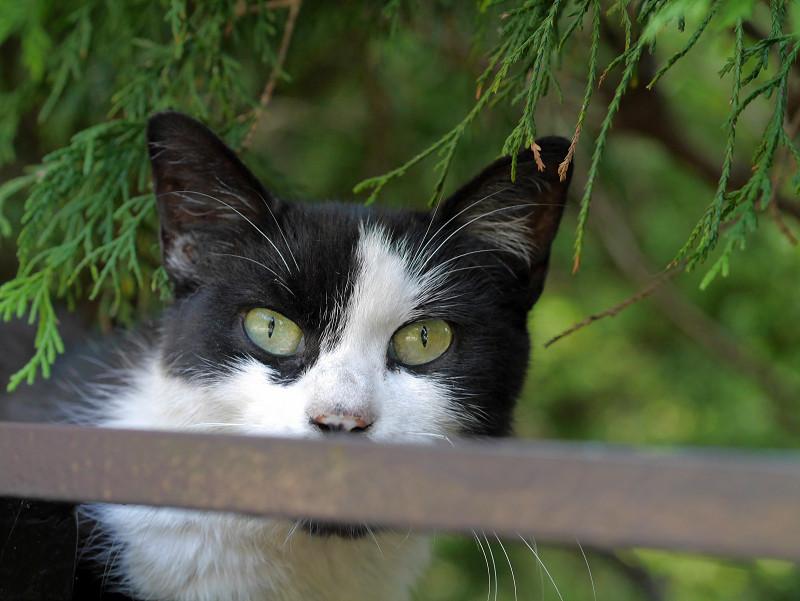 葉陰に逃げた黒白猫3