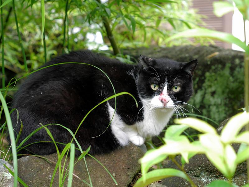 鼻を怪我してる黒白猫1